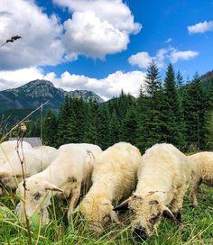#sheep #sheepworld #sheeps #eating #mountains #zakopane #zakopane2019 #tatry #animal #animals #beautiful #view #sky...   #sheep #sheepworld #sheeps #eating #mountains #zakopane #zakopane2019 #tatry #animal #animals #beautiful #view #sky #peak #travel #travelphotography #travelgirl #photography #photographer #love #góry #polskiegóry #podróże #tatry #zwierzęta #owce Mountain S, Poland, Wealth, Nature, Travel, Animals, Image, Beautiful, Naturaleza