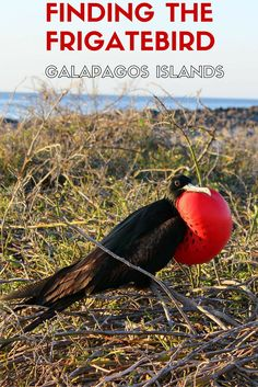 Where to find the magnificent frigatebird in the Galapagos Islands, Ecuador. Travel | South America