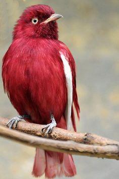 Pompadour cotinga bird, found in Bolivia, Brazil, Colombia, Ecuador, French Guiana, Guyana, Peru, Suriname, and Venezuela.