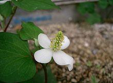 Houttuynia - Wikipedia, la enciclopedia libre