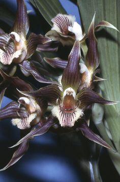 Galeottia fimbriata