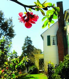 Neighborhoods: Falmouth:  A quince tree blooms on the east side of Belmont, former home of impressionist artist Gari Melchers. His Stafford home, studio and property are open to the public.