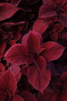 Houseplants for Better Sleep Solenostemon Hybrida Redhead Coleus Begonia, Shade Garden, Garden Plants, Ikebana, Trees To Plant, Plant Leaves, Cactus E Suculentas, Wholesale Nursery, Patio Planters