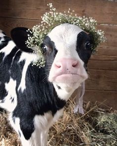 """ؘ on Twitter: """"… """" Baby Farm Animals, Baby Cows, Cute Little Animals, Cute Funny Animals, Animals And Pets, Baby Elephants, Wild Animals, Cute Baby Cow, Cute Cows"""