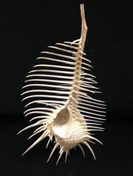 """Murex Pecten-Venus Comb Murex 2"""" TO 6"""" Shell Game, Shell Shock, Shell Collection, Ocean Creatures, Coffee And Books, Sea And Ocean, Ocean Life, Marine Life, Under The Sea"""