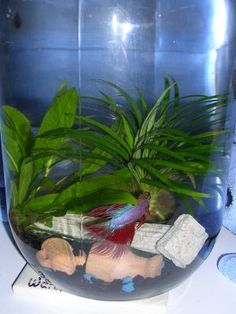 Betta need gallons, a place to hide, temperatures of degrees Fahrenheit, and a filter. This doesn't provide any of those. Betta Fish Tank, Fish Tanks, Tropical Fish Store, Betta Aquarium, Terrarium Ideas, Marimo, Pet Fish, Bowls, Filter