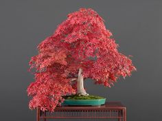 Acer palmatum, var. 'Deshôjô (Tunb.), Hiroshi Takeyama & Luis Vallejo 1991