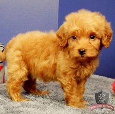 Goldendoodle puppy - Cami