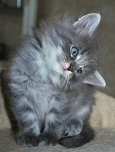 Norwegian Forest Kitten http://www.mainecoonguide.com/where-to-find-maine-coon-kittens-for-sale/