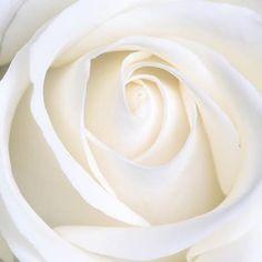 Significado de La rosa blanca simboliza la pureza y la inocencia. Las rosas blancas suelen ser la flor más elegida por las novias para la confección de sus ramos. El blanco simboliza perpetuidad algo que durará toda la vida. #rosablanca #rosasblancas #yosoydettaglios #dettaglios White Roses Wallpaper, Purple Flowers Wallpaper, Romantic Roses, Beautiful Roses, White Rose Plant, Yellow Roses, Red Roses, Fleur Pansy, White Iphone Background