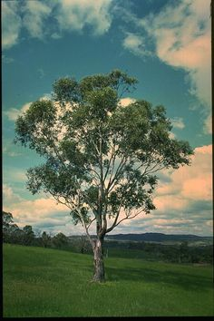 Eucalyptus ovata - Swamp Gum                     Growth Rate: Very Rapid   Height after 5 years: 8 m   Height when mature: 20 mTolerates extremes of water-logging and drought. Useful for shelter. Produces good firewood. Ground durable. Reliable coppicing. White flowers from March-June. Evergreen. Frost tolerant.