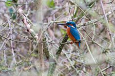 Hours Spent with Kingfisher and Great-crested Grebes