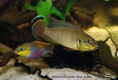 """Beautiful Pelvicachromis  taeniatus """"Wouri"""""""