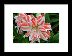 amaryllis, orange, white, flower, nature, striped, blossom, michiale schneider photography