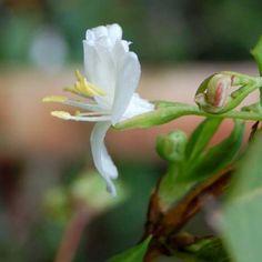 Chèvrefeuille d hiver, Lonicera fragrantissima