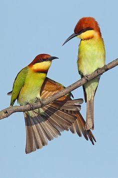 Chestnut-headed Bee-eater pair