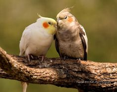Kissing Cockatiels