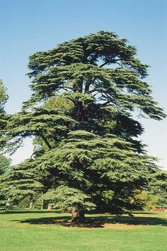 Toros Sediri (Cedrus Libani)