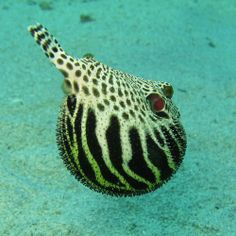 Many species of pufferfish have endosymbiotic bacteria within their  intestines which produce the neurotoxin tetrodotoxin. Photo courtesy o...