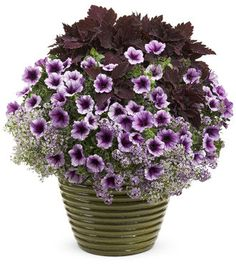 "Supertunia Bordeaux (petunia hybrid (2) Blushing Princess (alyssum lobbularia hybrid)(2) Color Blaze Marooned (Coleus) (1) 14"" pot"
