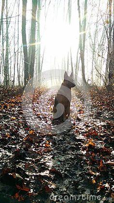 German shepherd sitting in the sun in a winter forest