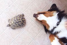Cleopatra the Bernese & Pikachu the turtle hahahaha