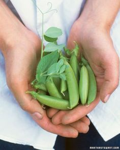 'Sugar Ann' Pea (Pisum sativum) is an award-winning snap pea that grows in a bush form and doesn't require staking. How to Grow Sugar Ann Peas...