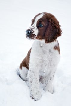 Theo, Welsh Springer Spaniel