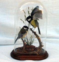 From what I know, an intention of taxidermy is to make the animals look as beautiful and alive as they did before they died. Taxidermy Bat, Taxidermy Decor, Taxidermy Display, Taxidermy Jewelry, Butterfly Taxidermy, Glass Bell Jar, The Bell Jar, Glass Domes, Apothecary Jars
