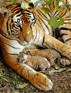 New born Royal Bengal tiger cubs with mother at the Assam State Zoo in Guwahati. EPA Photo on http://thejakartaglobe.beritasatu.com/business/indian-tribes-people-duped-leaving-forest-homes-tigers/…