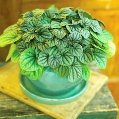 An easy-care houseplant with a great texture, silverleaf peperomia (Peperomia griseoargentea) has metallic silvery-green leaves with a unique rippling. It tolerates low light, but thrives in medium to bright spots. It grows about 8 inches tall.