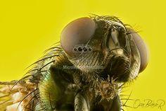 Lucilia Cuprina blowfly Portrait Costa Rica