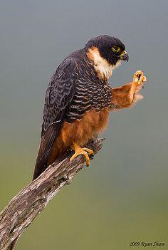 Bat Falcon (Falco rufigularis) fighting off some flies that were 'buggin' her - Ryan Shaw.
