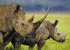 Petition to sign and share. Tell EU Leaders to Halt the Trade of Rhino Products  BY OLIMPIA LEE   Target: EU Leaders  Goal: Push members of the Convention on International Trade in Endangered Species to immediately suspend trade on all rhino products and put into place appropriate enforcement measures.