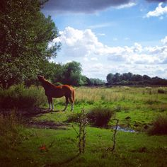 The juiciest leaves are always the highest: a horse reaches up for fresh beech tips in a Hampshire meadow near Stockbridge. The River Test runs through this beauty spot. #horse #pony #eat #tree #meadow #sunshine #summer #clouds #beautiful #pony #eat #cheeky #cute #bucolic #pastoral #wild #nature #traditional #english #countryside