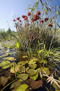 Sarracenia rubra, Sweet Pitcher Plant in habitat, fall line sandhills, Marion County, Georgia  - This variety of Sarracenia rubra is currently under review for new subspecies designation due to unique morphologic characters and geographic isolation.