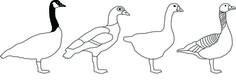 Vera Knoot, Geese project by Vera Knoot. In Nederland zijn veel te veel ganzen. Ze veroorzaken schade en overlast in de landbouw en rond vliegvelden. Daarom worden er per jaar 100.000 vernietigd. Wat kunnen we met deze ganzen?