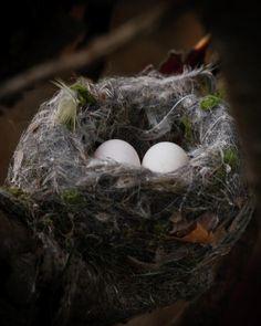 Hummingbird nest with eggs
