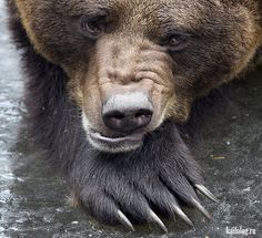 Animals And Pets, Funny Animals, Cute Animals, Love Bear, Big Bear, Ours Grizzly, Grizzly Bears, Parda, Bear Art