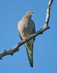 Mourning Dove  Adult        Long, streamline shape distinctive      Graduated tail forms pointed shape      Small head, thick chest, small bill