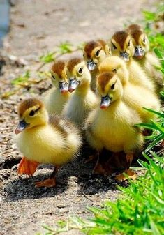 Parade of ducklings! Cute Ducklings, Duck And Ducklings, Cute Baby Animals, Farm Animals, Animals And Pets, Yellow Animals, Cute Creatures, Beautiful Creatures, Beautiful Birds