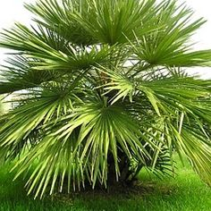 Chamerops Humilis Hardy palm with blue green foliage. May be kept outdoors in a sheltered position or indoors.
