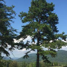 Loblolly Virginia Pine Tree