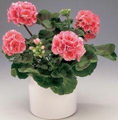 Pelargonium x hortorum - geranium; Love Flowers, My Flower, Flower Power, Beautiful Flowers, Flowers Perennials, Planting Flowers, Flower Plants, Geranium Plant, Potted Geraniums