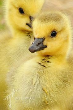 ayustar: tiny-creatures: Canada Gosling by timjhopwood on Flickr. They are cute before they turn into angry death machines.