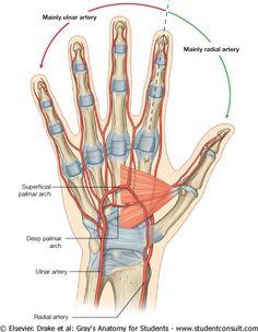 radial and ulnar arteries Hand Anatomy, Gross Anatomy, Anatomy Study, Anatomy Reference, Hand Therapy, Massage Therapy, Arteries Anatomy, Hand Surgery, Median Nerve