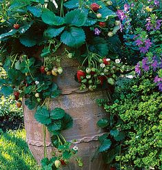 Where horizontal space is a luxury or good drainage poses a problem, growing strawberries in a tall container like this one does the trick. It allows fruit to hang clear of wet soil but within reach as berries ripen. | Photo: Rosalind Creasy