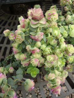207 best summer flowers images on pinterest summer flowers garden ornamental oregano kent beauty origanum sky garden dream garden white wedding flowers mightylinksfo