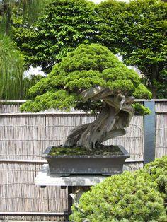 ...bonsai