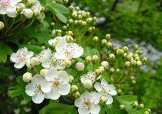 Meidoorn als opviuller Crataegus monogyna Edible Plants, Rosacea, Botany, Herbs, Garden, Blog, Languages, Journey, Cottage